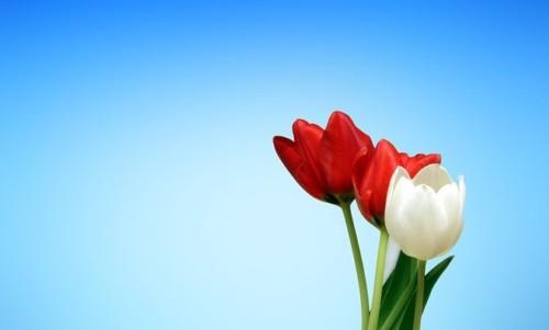 Tulipaner henger