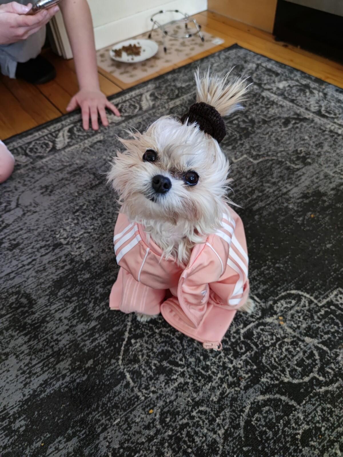 pomeranian-chihuahua-pomchi-hundenmin-hund-søtestehunden-adidas-stil-hundeklær-hundemote-mote-isalicious-isalicious1-isalicious.blogg.no-shanti