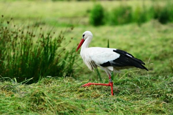 10 fakta om storker
