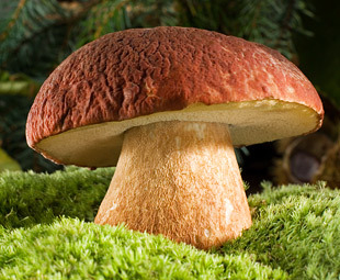 brown cap mushroom on moss close up