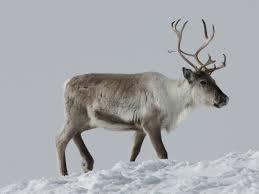 Nei, man driver ikke oppdrett av reinsdyr i bur for pelsen sin del!