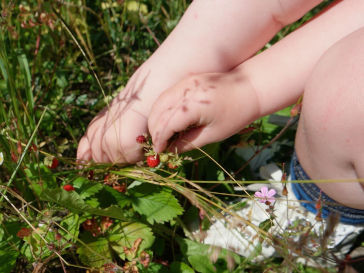 barnehender som plukker markjordbær