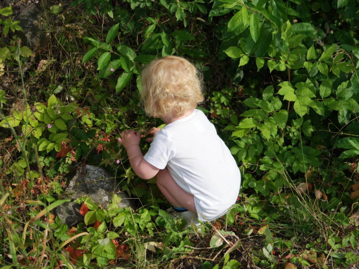 toåring i hvit body plukker markjordbær