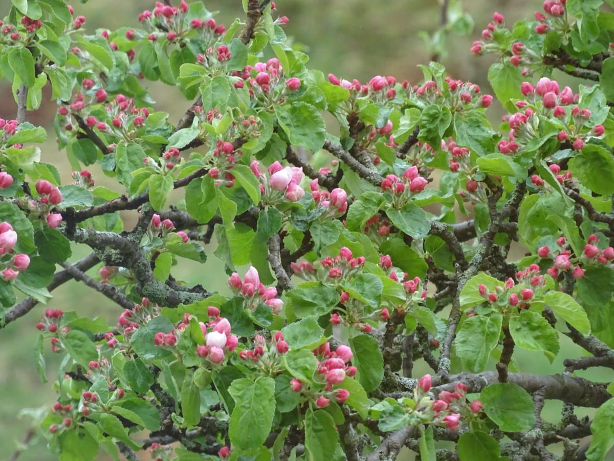 best sneakers 6fc3e 17d3f det blir flott når blomstrane spretter,plommeblomstringen er så godt som  over,da er det kjekt att vi har epler også,så kan knoppane vente litt til  uværet ...
