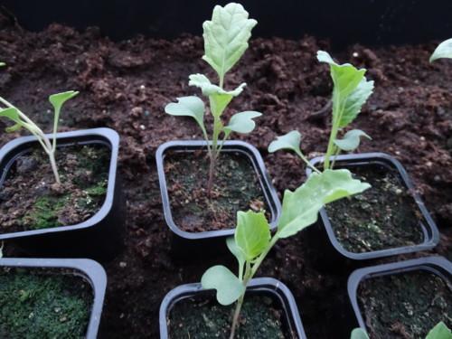 buy popular ba430 96900 jeg sådde paprika i månedskifte januar februar,nå kommer dei første  blomsterknoppene