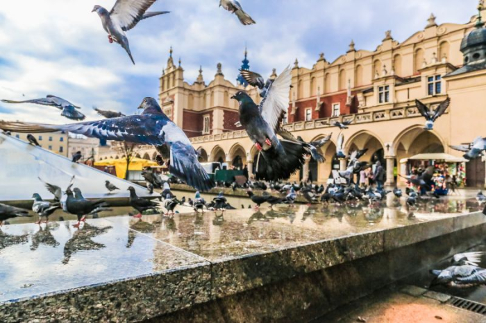 A lot of doves in Krakow old city. Market Square. Poland