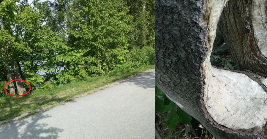 Da har Skien kommune blitt varslet om treet som kan falle over ende når folk går på gangfeltet