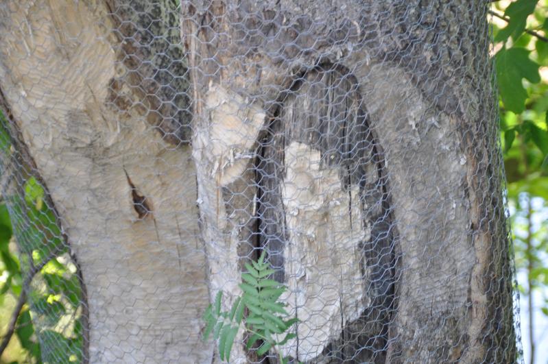 Kommunen ble kontaktet om to trær som er spist av bevere.Nå har de gjort tiltak
