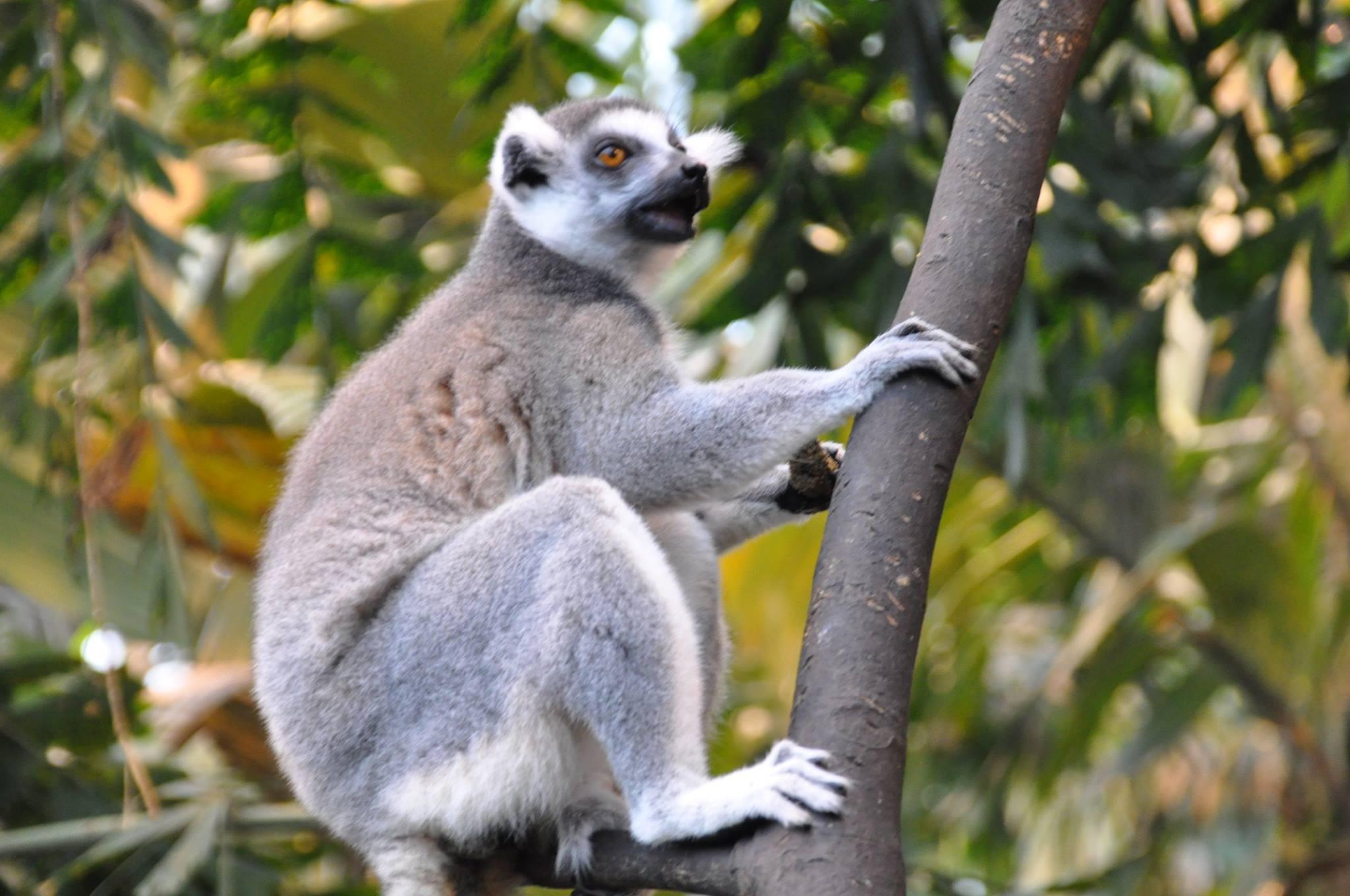 Fem lemurer fra Den Lille Dyrehage har forsvunnet. Lover 10.000 finnerlønn!