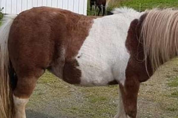 Tina Bjørnewall har tre ponnier på gården. Lørdag ble en stjålet. En person er pågrepet av politiet
