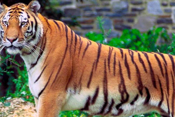 En 55 år gammel kvinne døde etter å ha blitt angrepet av en tiger i dyrehage