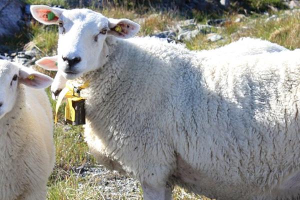 Færre drepte sauer i Norge