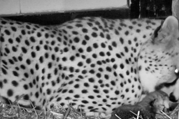 Geparden Kimani fødte en unge i Dyreparken