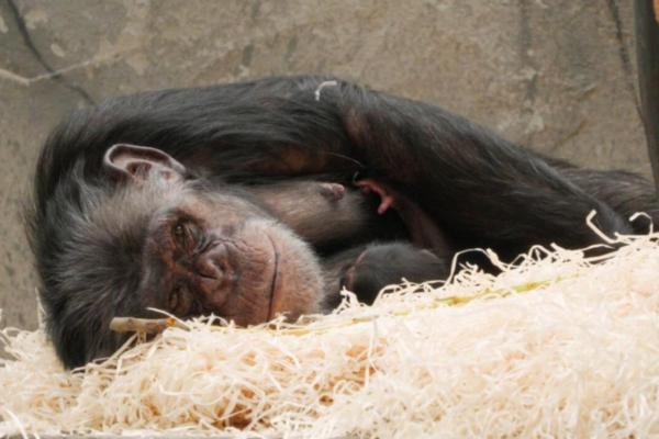 Julius ble far igjen – se video av den nye sjimpansen i Dyreparken
