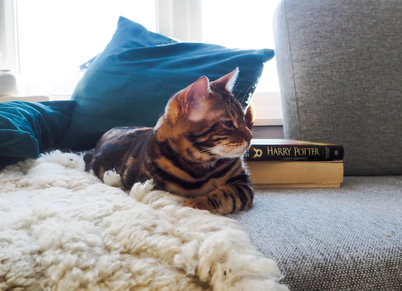 Bengalkatt og bok