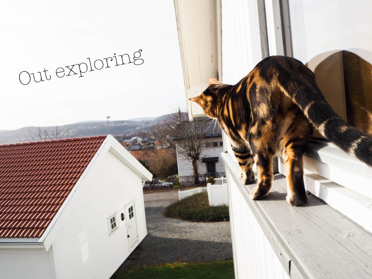 Bengalkatt ute på eventyr med teksten 'out exploring1