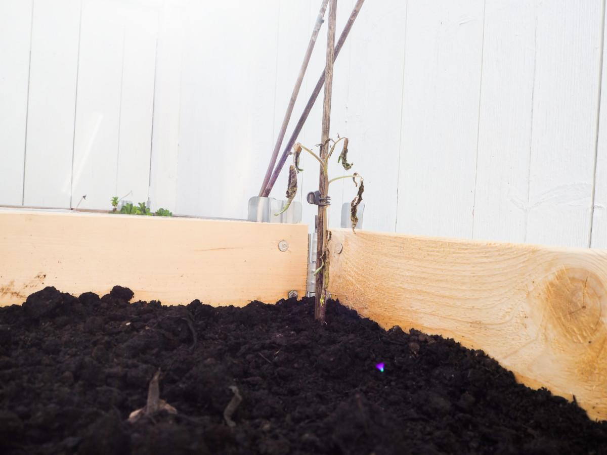 Død tomatplante