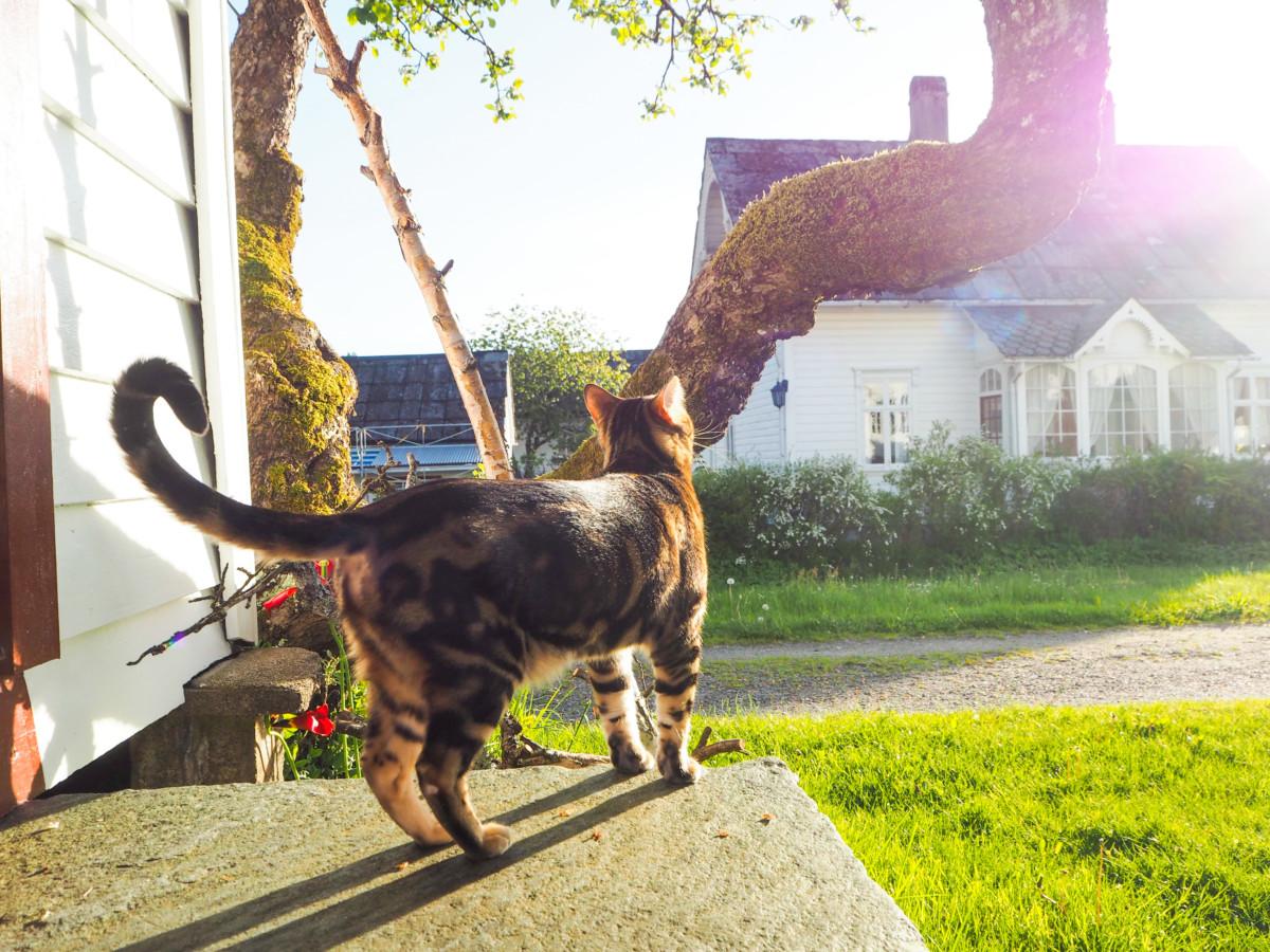 Bengalkatt ved stabburet