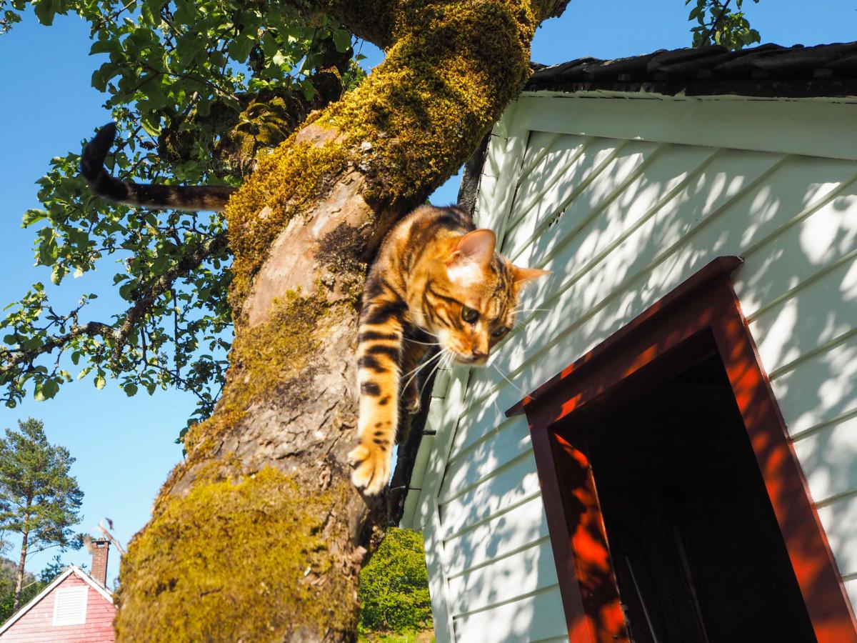 Bengalkatt i treet