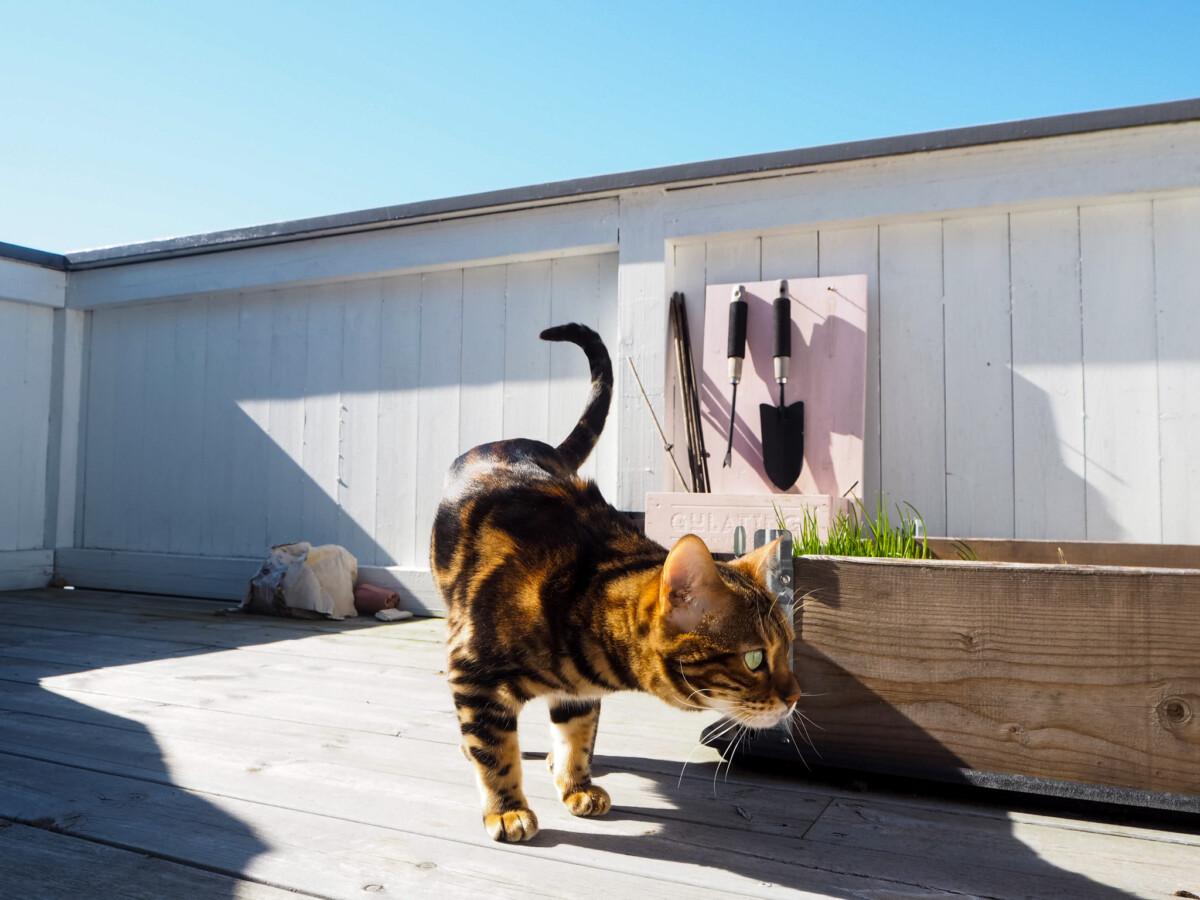 Bengalkatt og verandahage