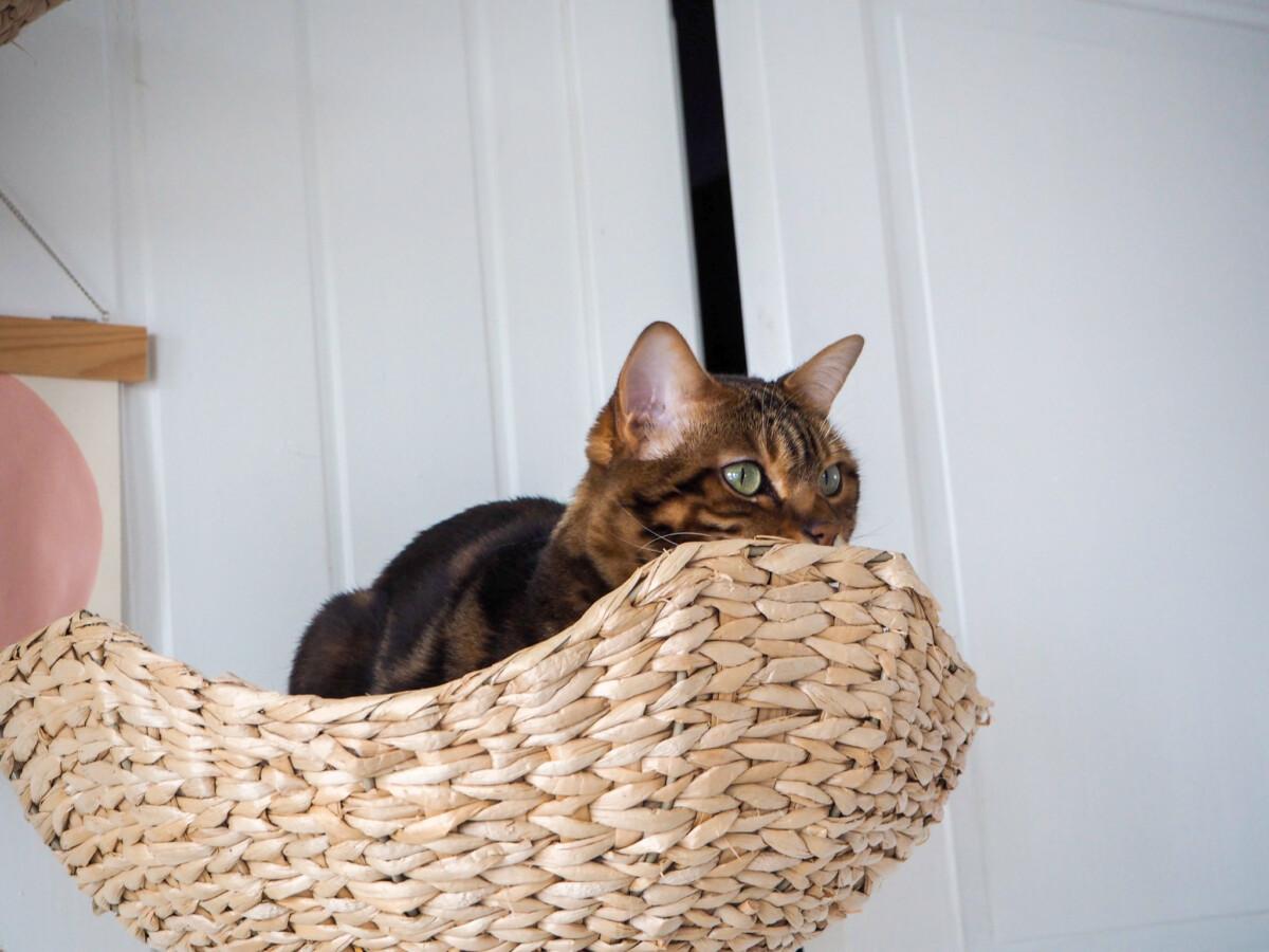 Bengalkatt