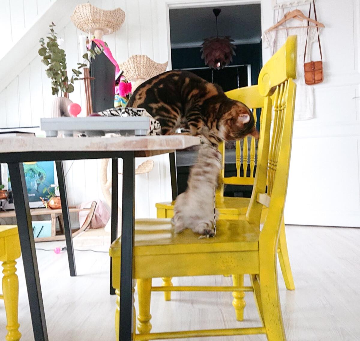 Bengalkatter