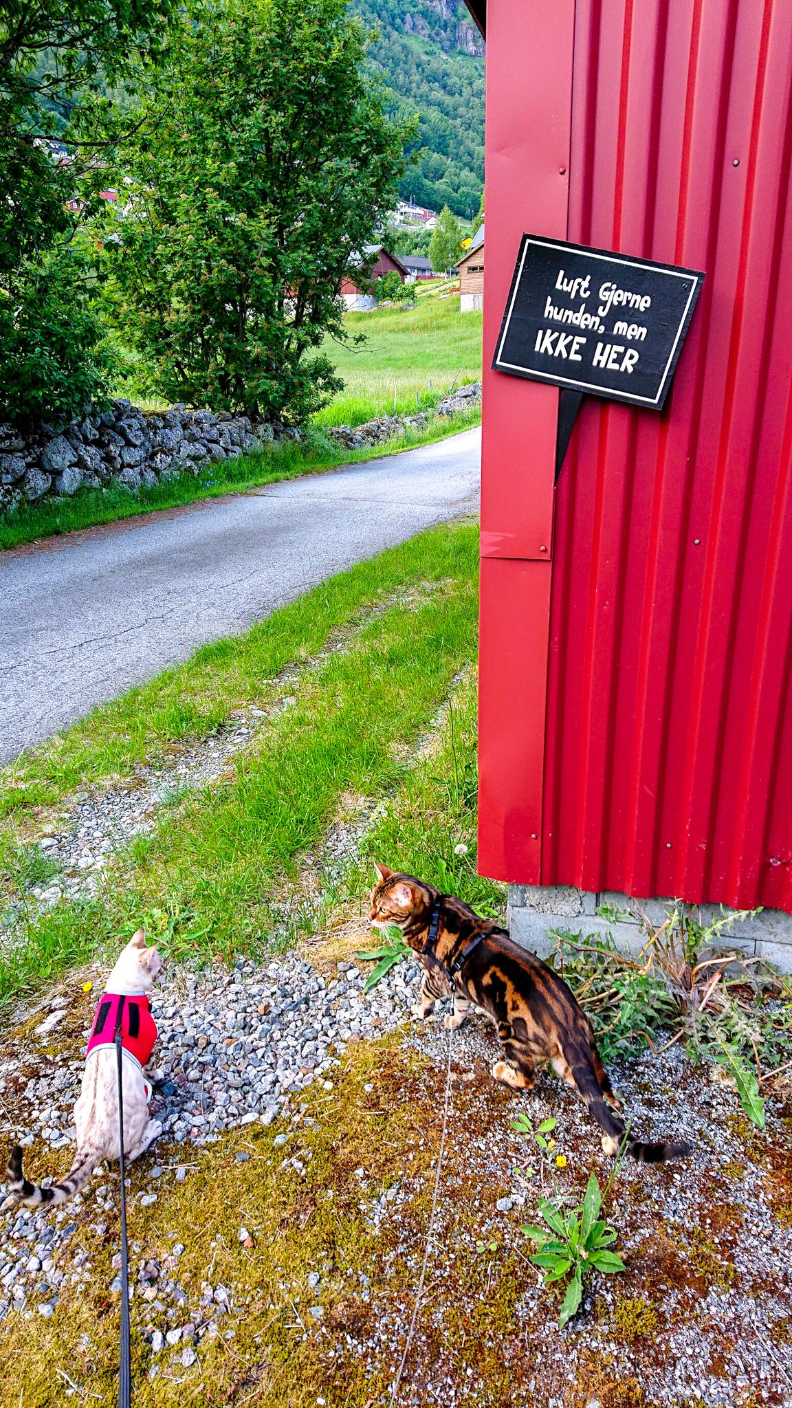 Katt i bånd i Røldal