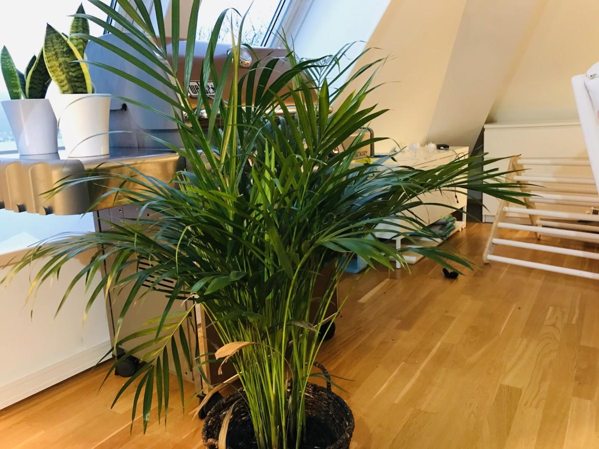 Areka palme stue grønn plante