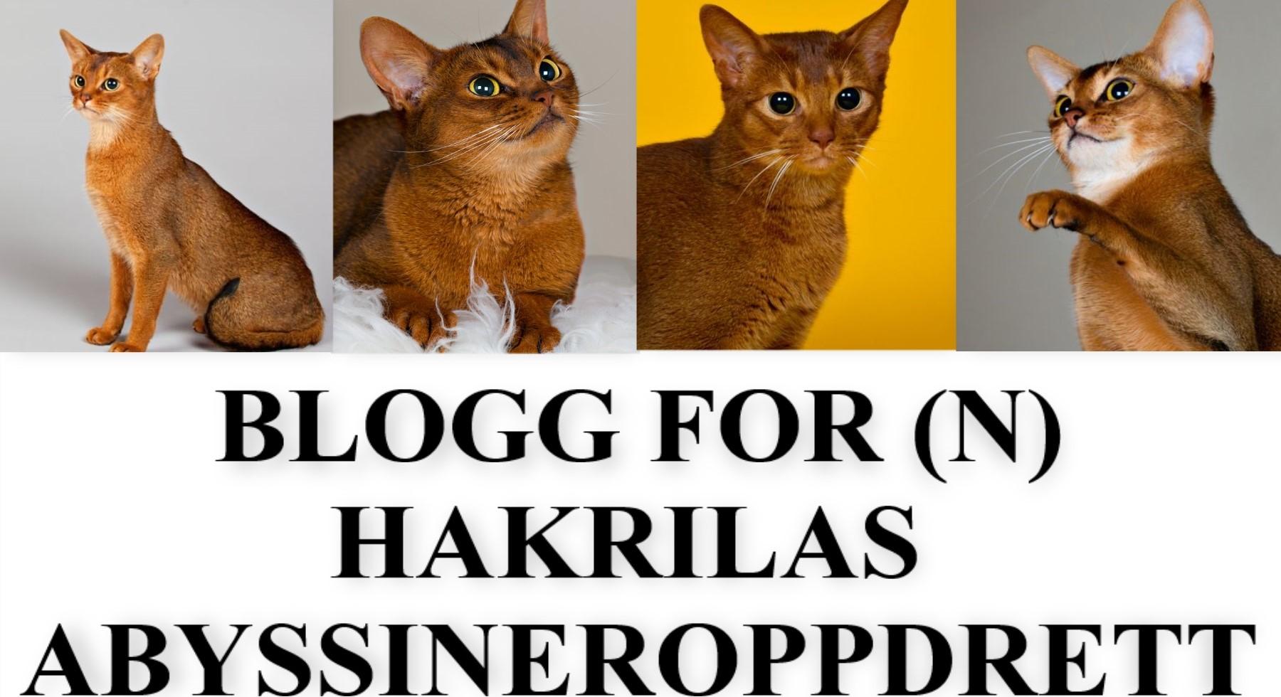 (N) Hakrilas Abyssineroppdrett