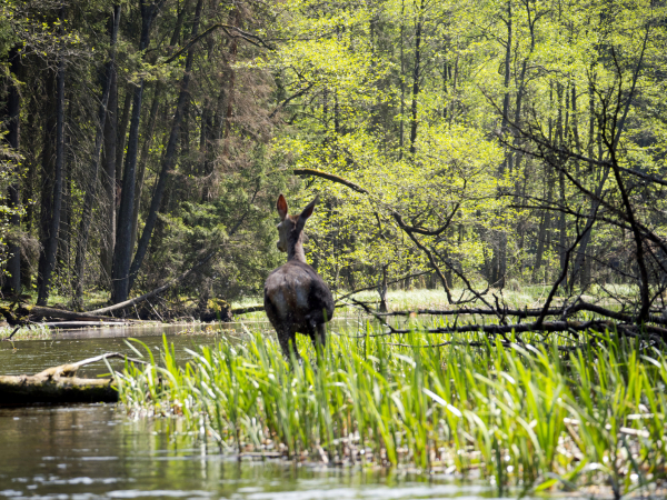 Wigierski Nasjonalpark – beverens kongedømme