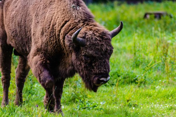 Helgetur til Białowieża Nasjonalpark – visents kongedømme
